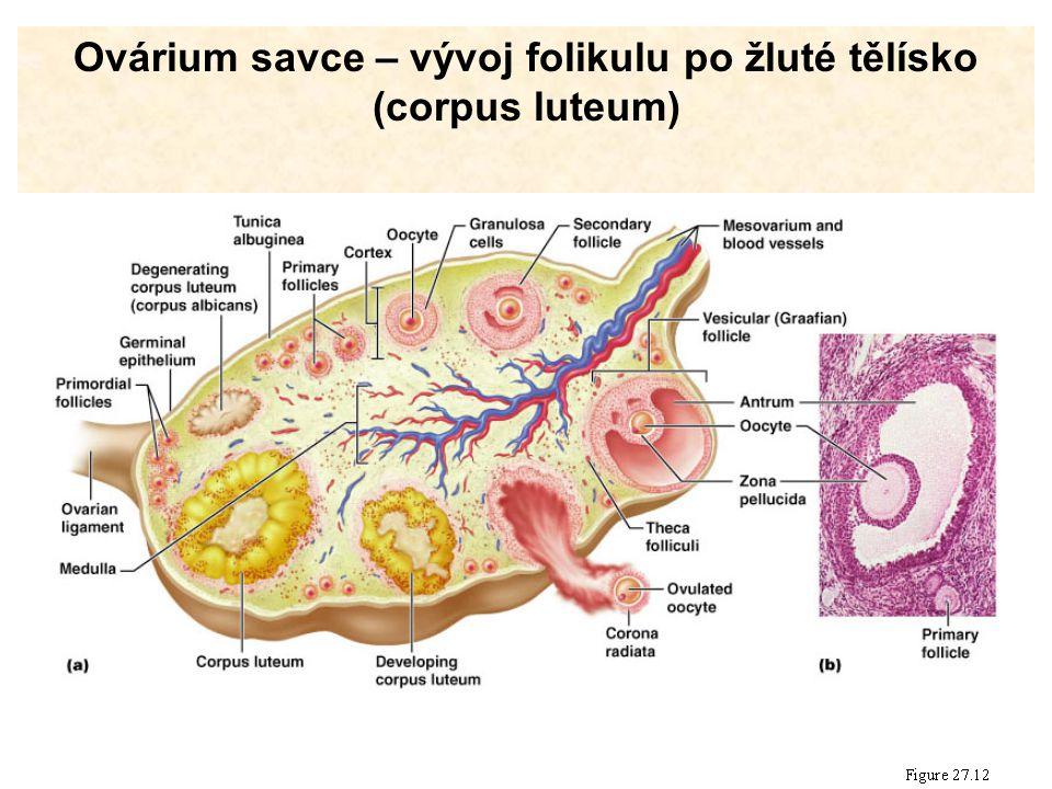 Ovárium savce – vývoj folikulu po žluté tělísko (corpus luteum)