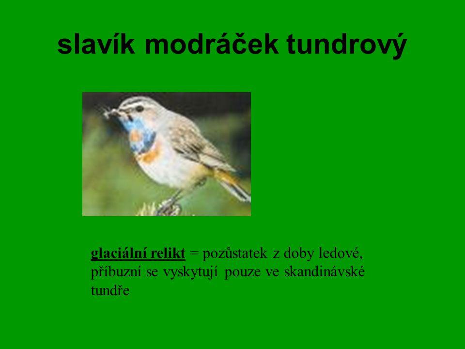 slavík modráček tundrový