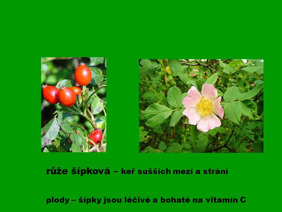 růže šípková – keř sušších mezí a strání