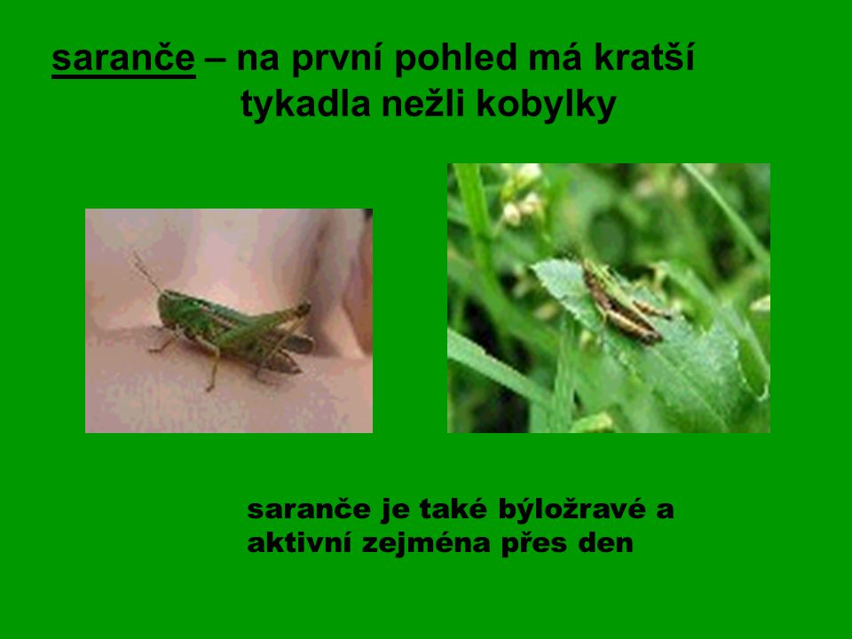 saranče – na první pohled má kratší tykadla nežli kobylky