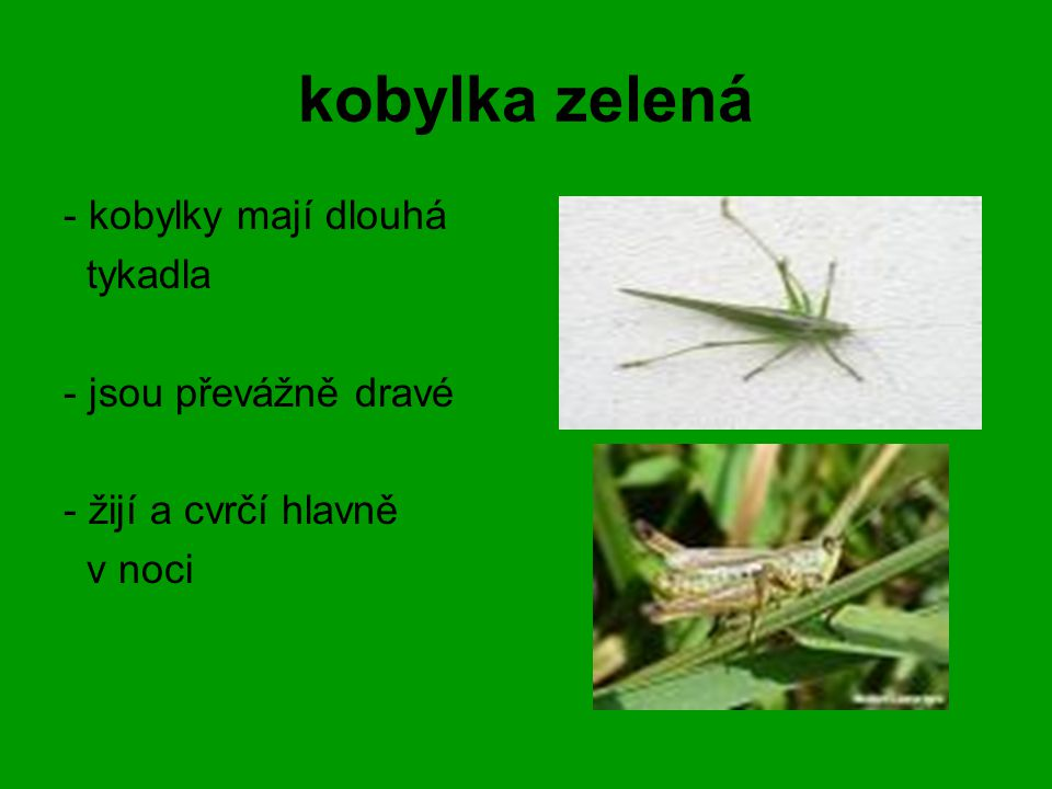 kobylka zelená - kobylky mají dlouhá tykadla - jsou převážně dravé