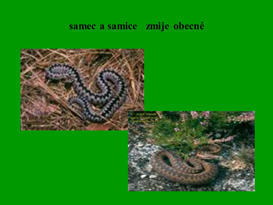 samec a samice zmije obecné