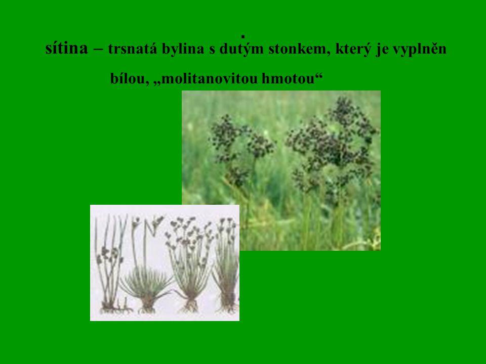 . sítina – trsnatá bylina s dutým stonkem, který je vyplněn