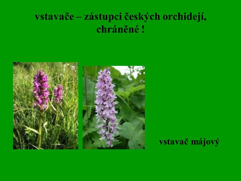 vstavače – zástupci českých orchidejí, chráněné !