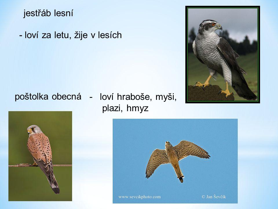 jestřáb lesní - loví za letu, žije v lesích poštolka obecná loví hraboše, myši, plazi, hmyz