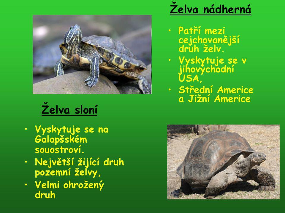 Želva nádherná Želva sloní Patří mezi cejchovanější druh želv.