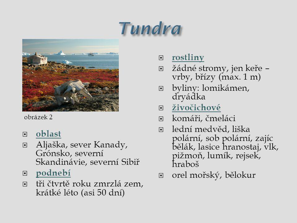 Tundra rostliny žádné stromy, jen keře – vrby, břízy (max. 1 m)