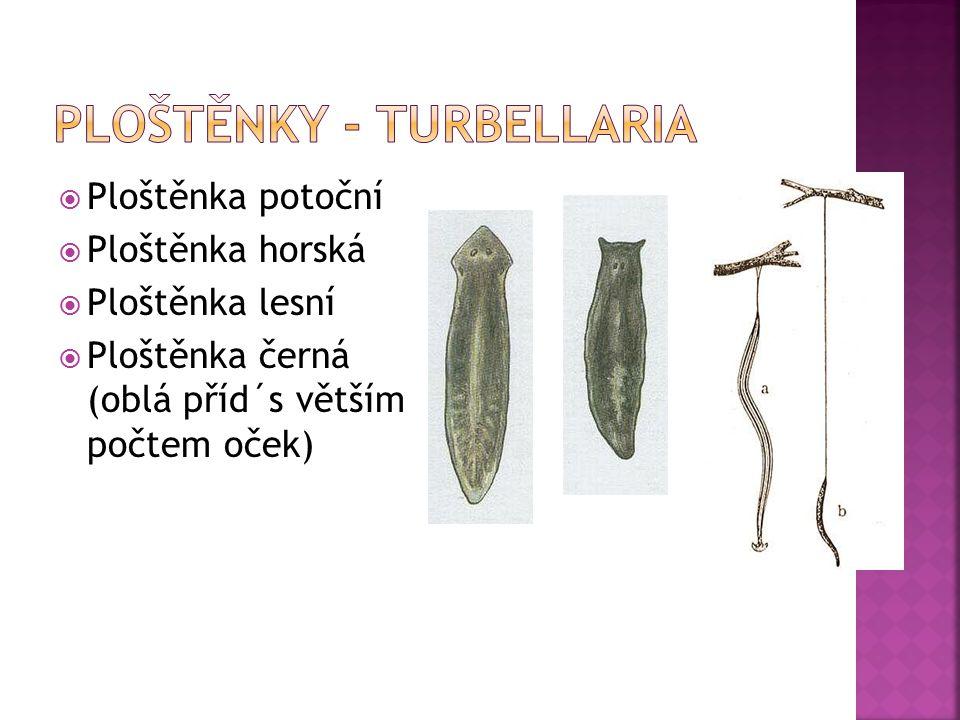 Ploštěnky - Turbellaria