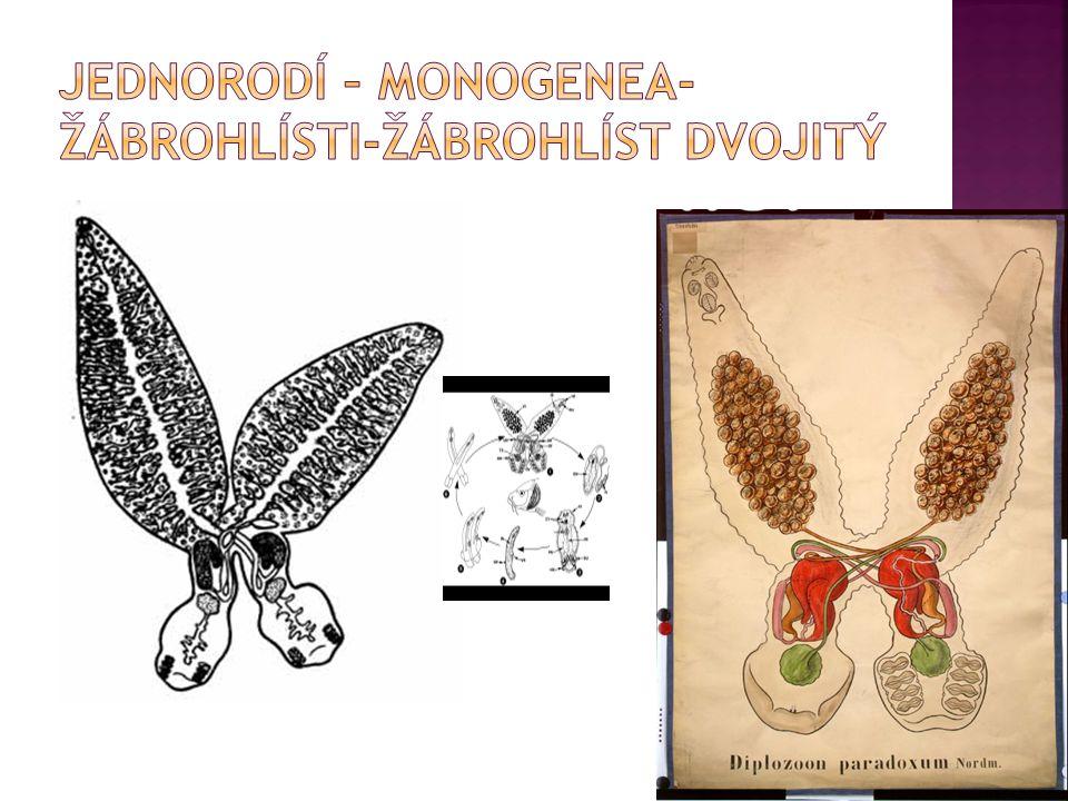Jednorodí – monogenea-žábrohlísti-žábrohlíst dvojitý