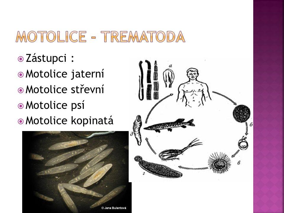 Motolice - trematoda Zástupci : Motolice jaterní Motolice střevní
