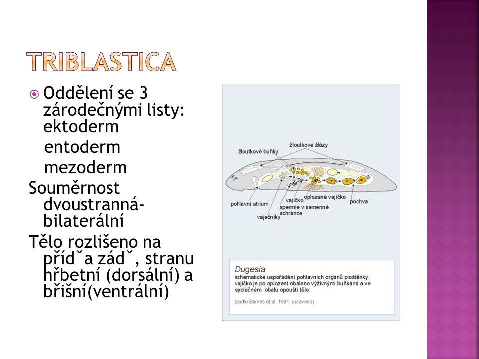 triblastica Oddělení se 3 zárodečnými listy: ektoderm entoderm
