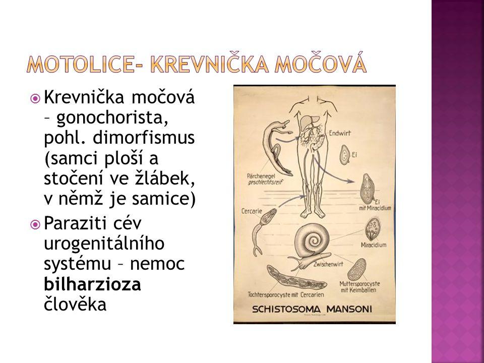 Motolice- krevnička močová