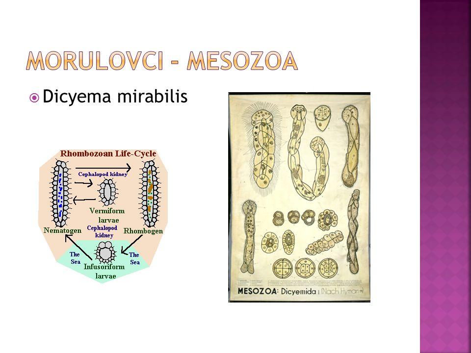 Morulovci - Mesozoa Dicyema mirabilis
