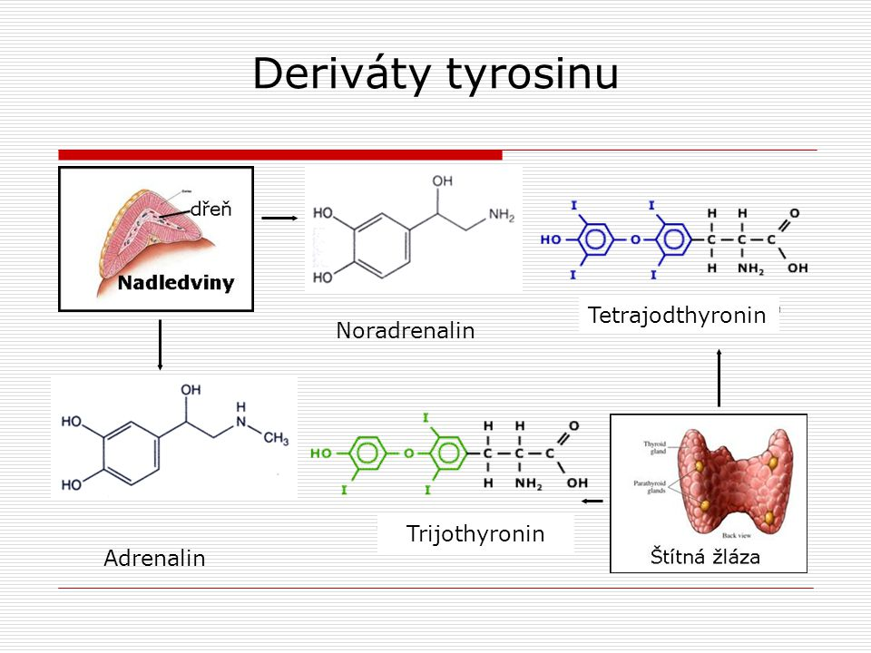 Deriváty tyrosinu Tetrajodthyronin Noradrenalin Trijothyronin