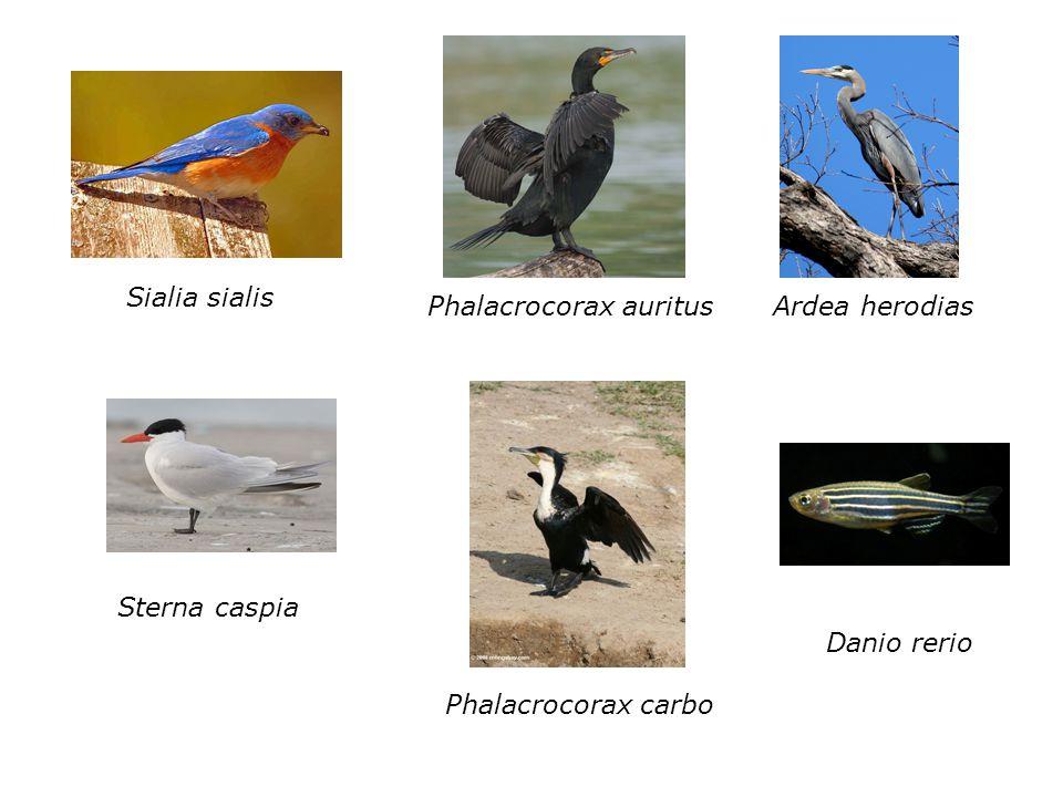 Sialia sialis Phalacrocorax auritus Ardea herodias Sterna caspia Danio rerio Phalacrocorax carbo