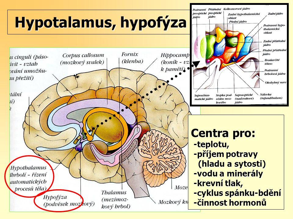 Hypotalamus, hypofýza Centra pro: -teplotu, -příjem potravy