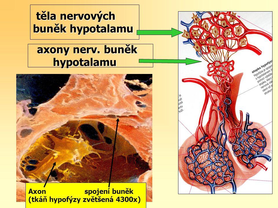 těla nervových buněk hypotalamu