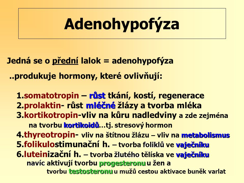 Adenohypofýza Jedná se o přední lalok = adenohypofýza