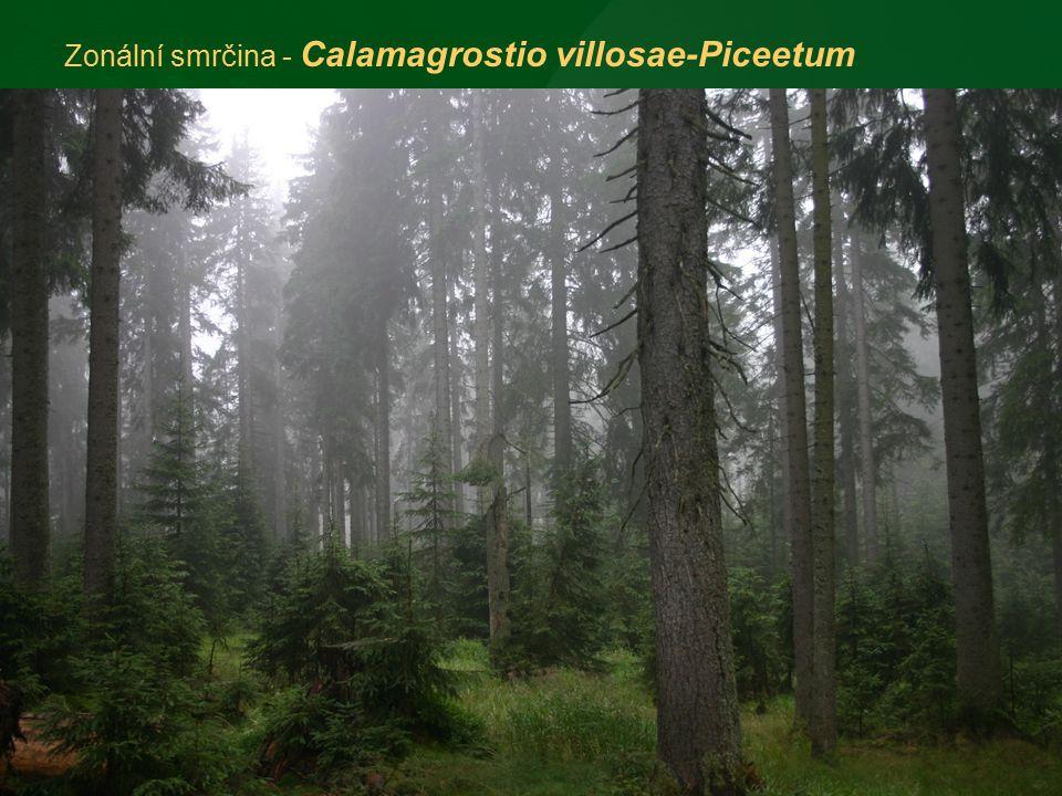 Zonální smrčina - Calamagrostio villosae-Piceetum