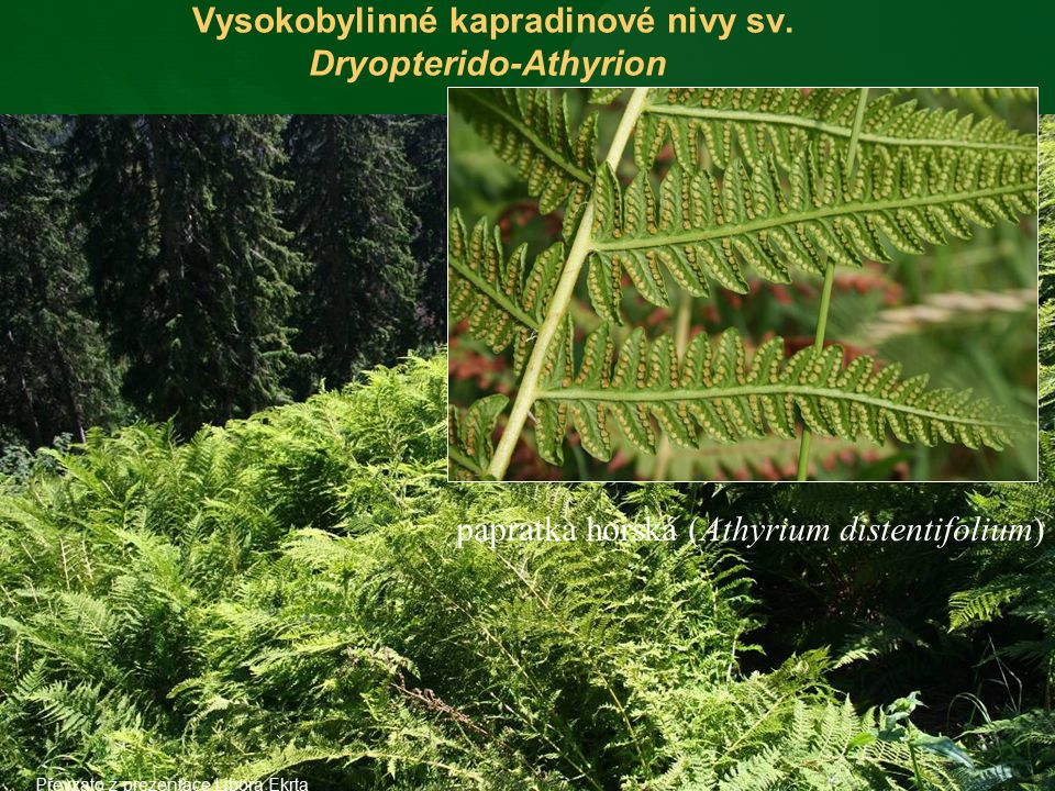 Vysokobylinné kapradinové nivy sv. Dryopterido-Athyrion