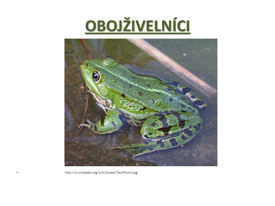 OBOJŽIVELNÍCI http://cs.wikipedia.org/wiki/Soubor:Teichfrosch.jpg