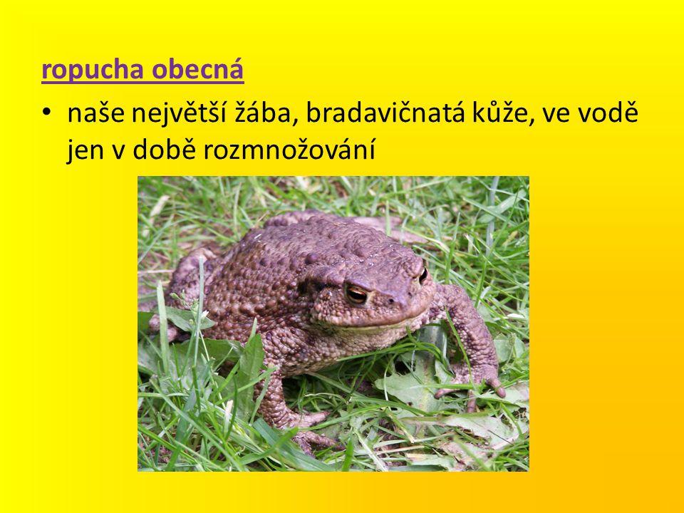 ropucha obecná naše největší žába, bradavičnatá kůže, ve vodě jen v době rozmnožování