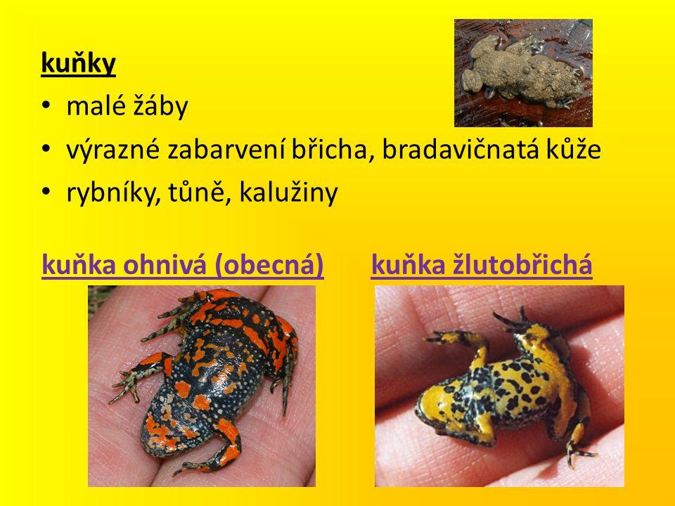 kuňky malé žáby. výrazné zabarvení břicha, bradavičnatá kůže. rybníky, tůně, kalužiny. kuňka ohnivá (obecná)