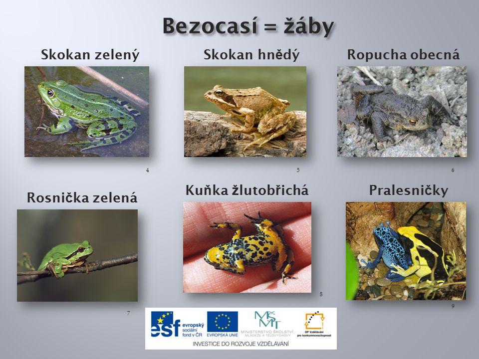 Bezocasí = žáby Skokan zelený Skokan hnědý Ropucha obecná