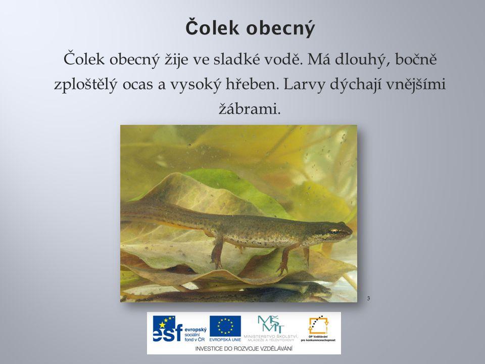 Čolek obecný Čolek obecný žije ve sladké vodě. Má dlouhý, bočně zploštělý ocas a vysoký hřeben. Larvy dýchají vnějšími žábrami.