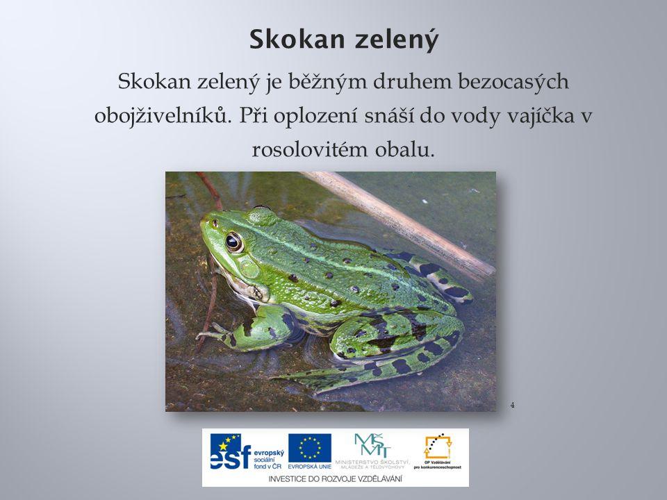 Skokan zelený Skokan zelený je běžným druhem bezocasých obojživelníků. Při oplození snáší do vody vajíčka v rosolovitém obalu.