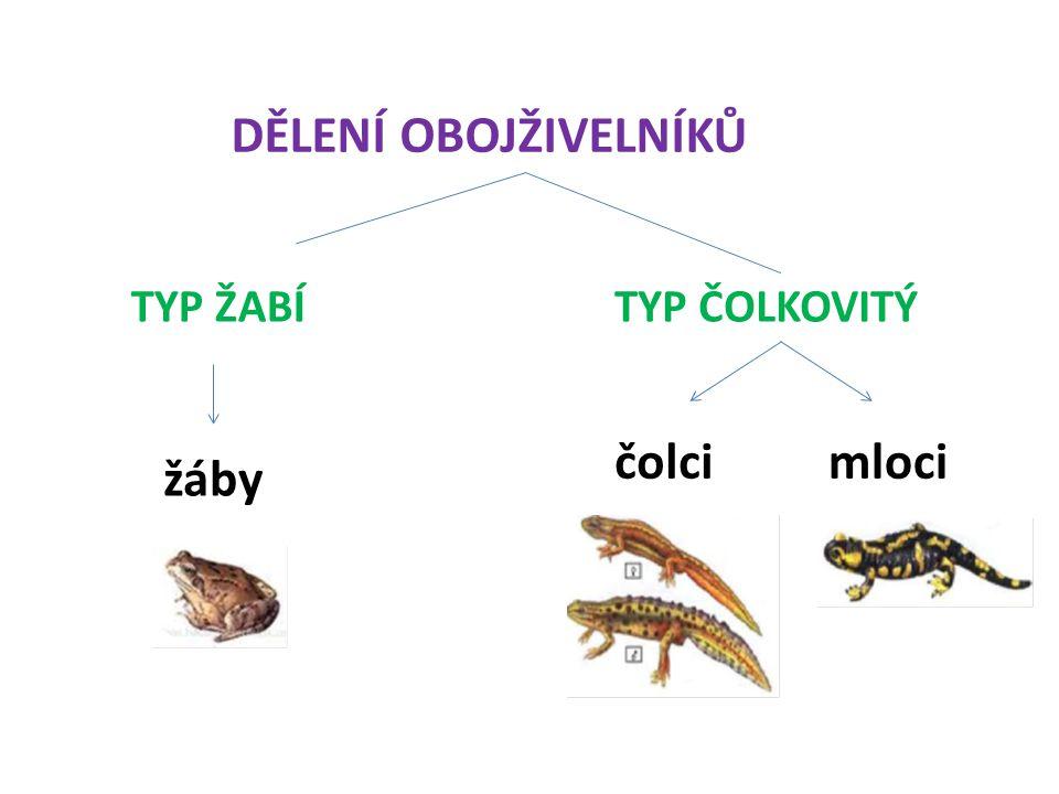 DĚLENÍ OBOJŽIVELNÍKŮ TYP ŽABÍ TYP ČOLKOVITÝ čolci mloci žáby
