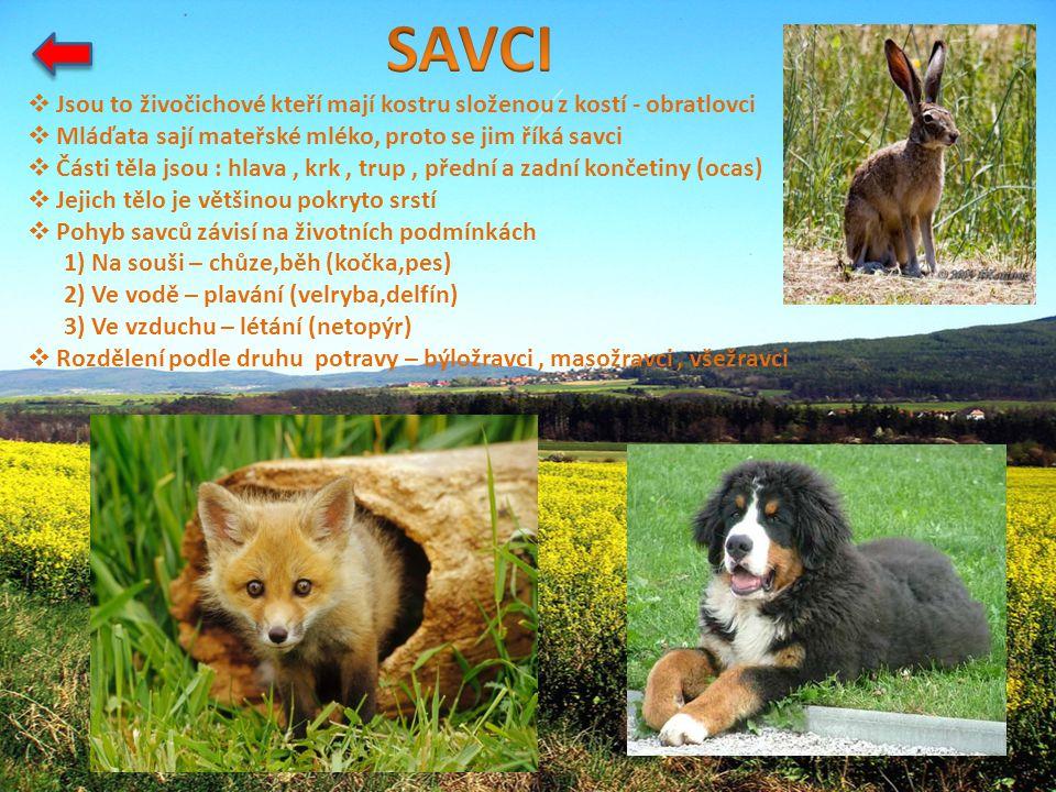 SAVCI Jsou to živočichové kteří mají kostru složenou z kostí - obratlovci. Mláďata sají mateřské mléko, proto se jim říká savci.