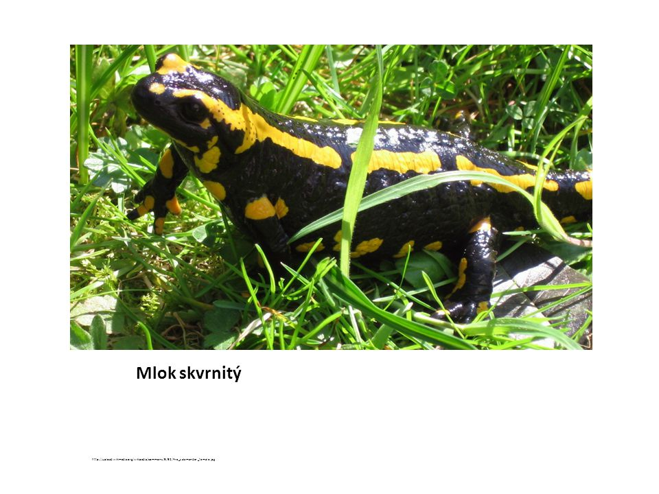 Mlok skvrnitý http://upload.wikimedia.org/wikipedia/commons/9/92/Fire_salamander_female.jpg