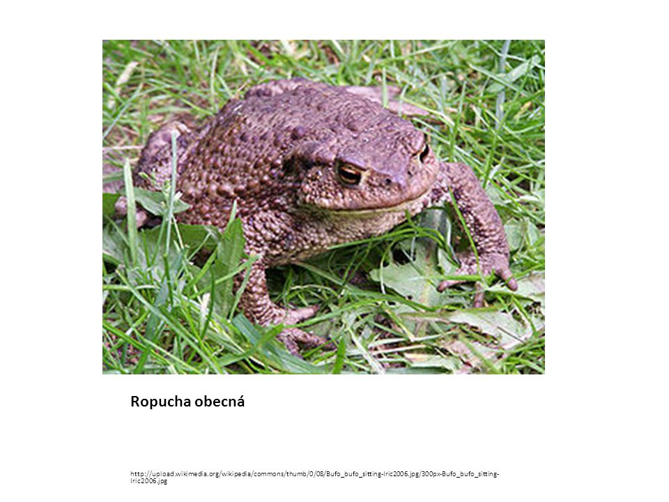 Ropucha obecná http://upload.wikimedia.org/wikipedia/commons/thumb/0/08/Bufo_bufo_sitting-Iric2006.jpg/300px-Bufo_bufo_sitting-Iric2006.jpg.
