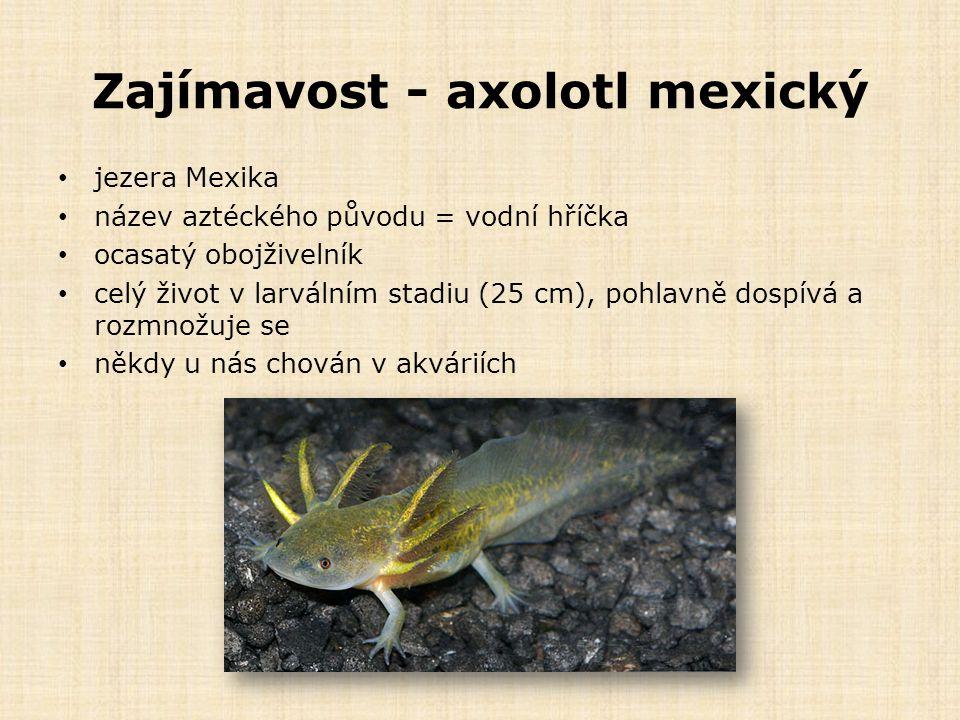 Zajímavost - axolotl mexický