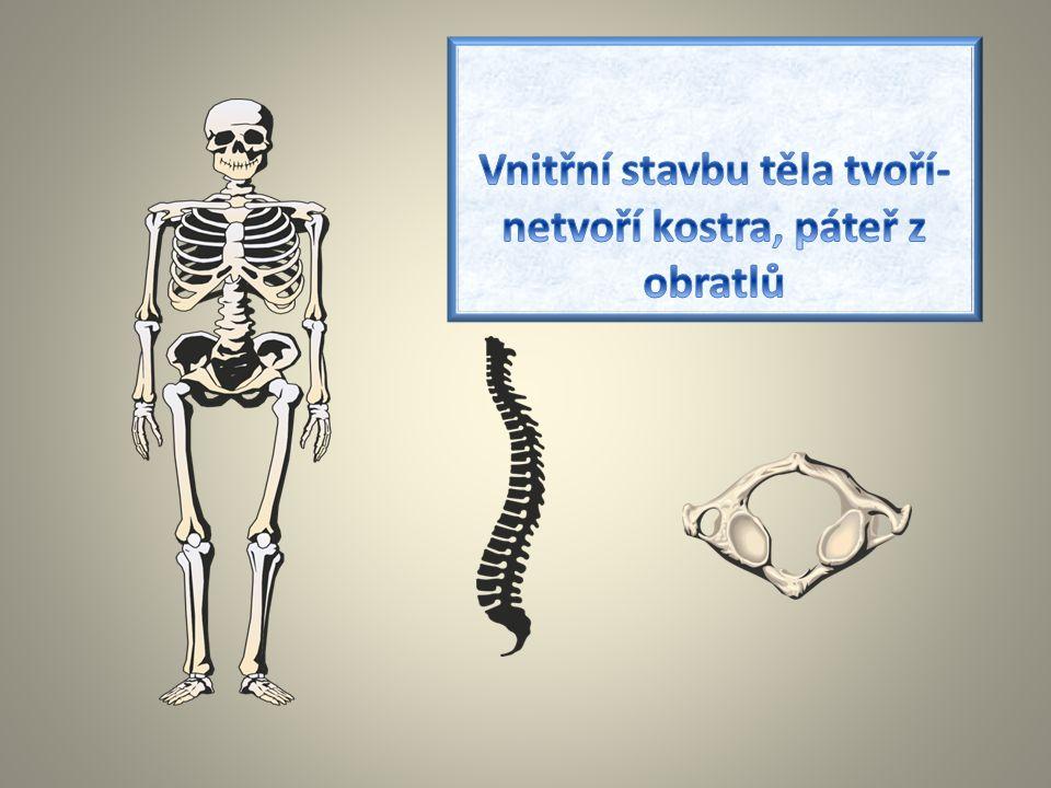 Vnitřní stavbu těla tvoří-netvoří kostra, páteř z obratlů