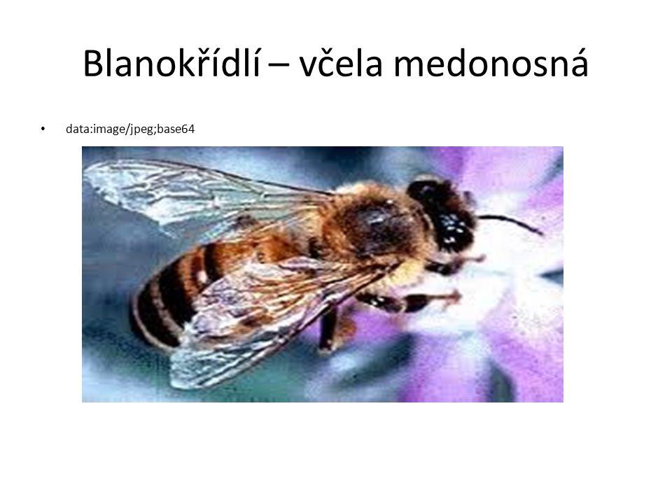 Blanokřídlí – včela medonosná
