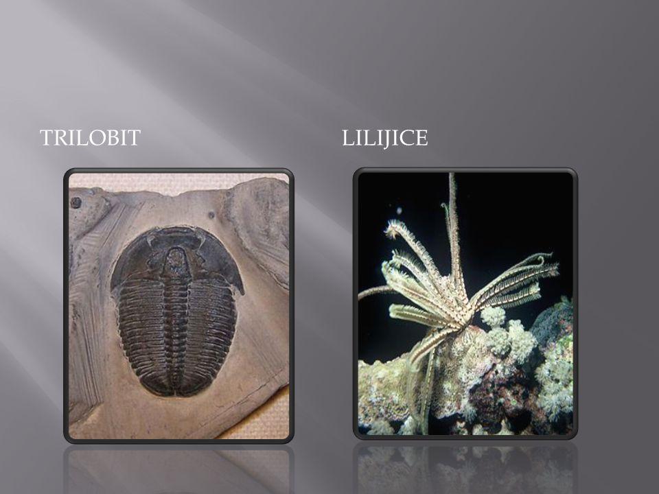 trilobit Lilijice