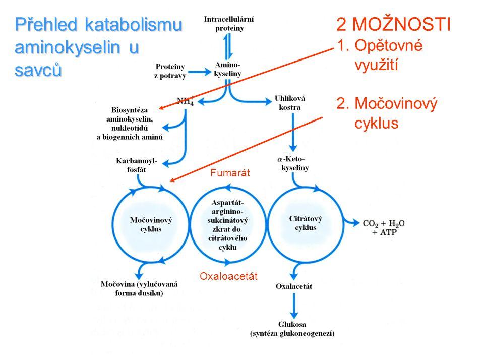 Přehled katabolismu aminokyselin u savců 2 MOŽNOSTI