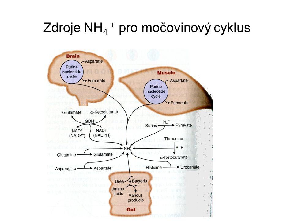 Zdroje NH4 + pro močovinový cyklus