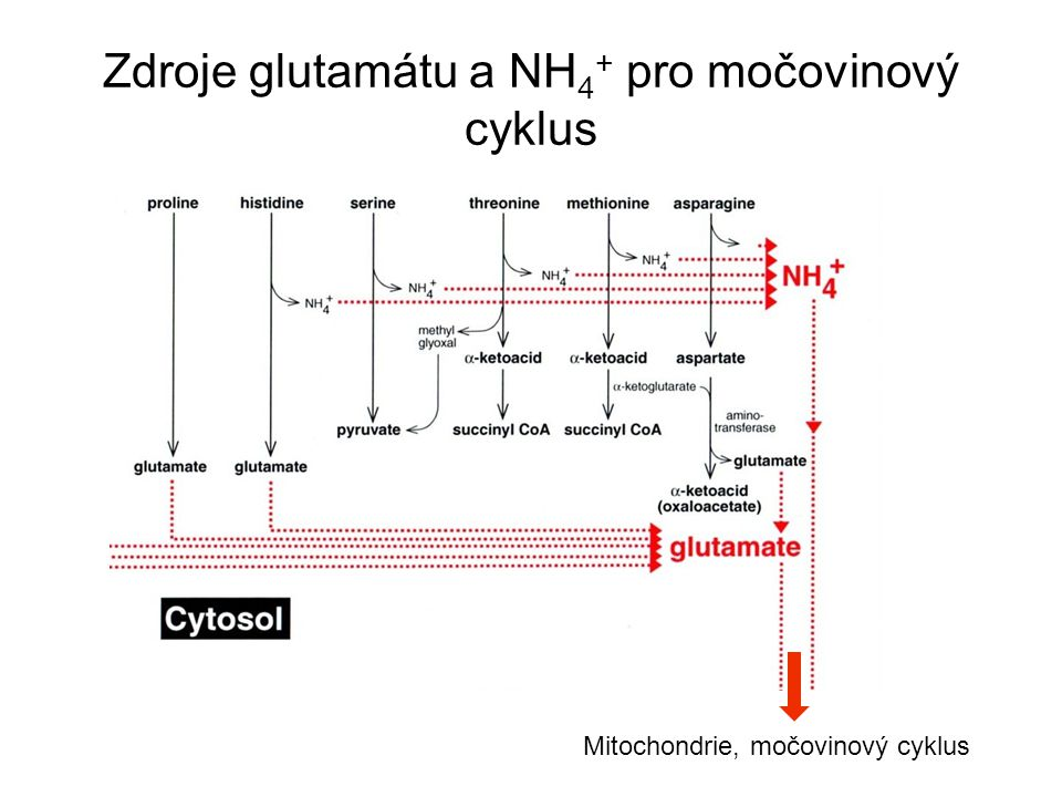 Zdroje glutamátu a NH4+ pro močovinový cyklus