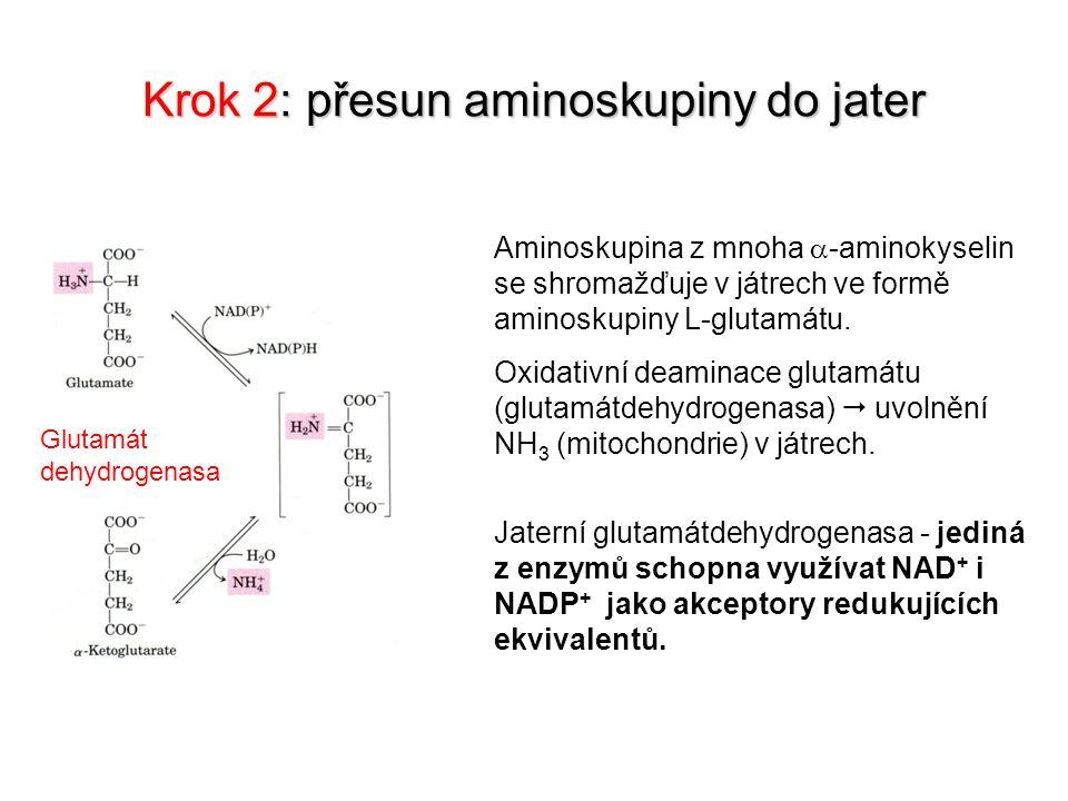 Krok 2: přesun aminoskupiny do jater