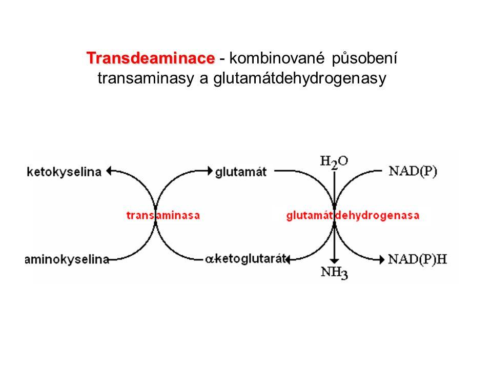 Transdeaminace - kombinované působení transaminasy a glutamátdehydrogenasy