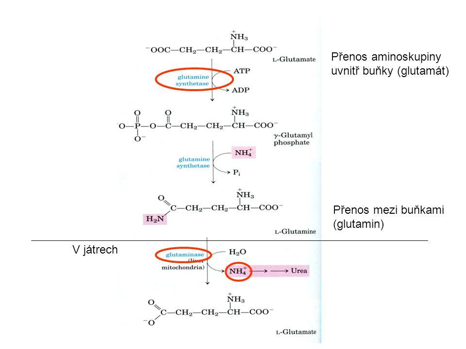 Přenos aminoskupiny uvnitř buňky (glutamát)