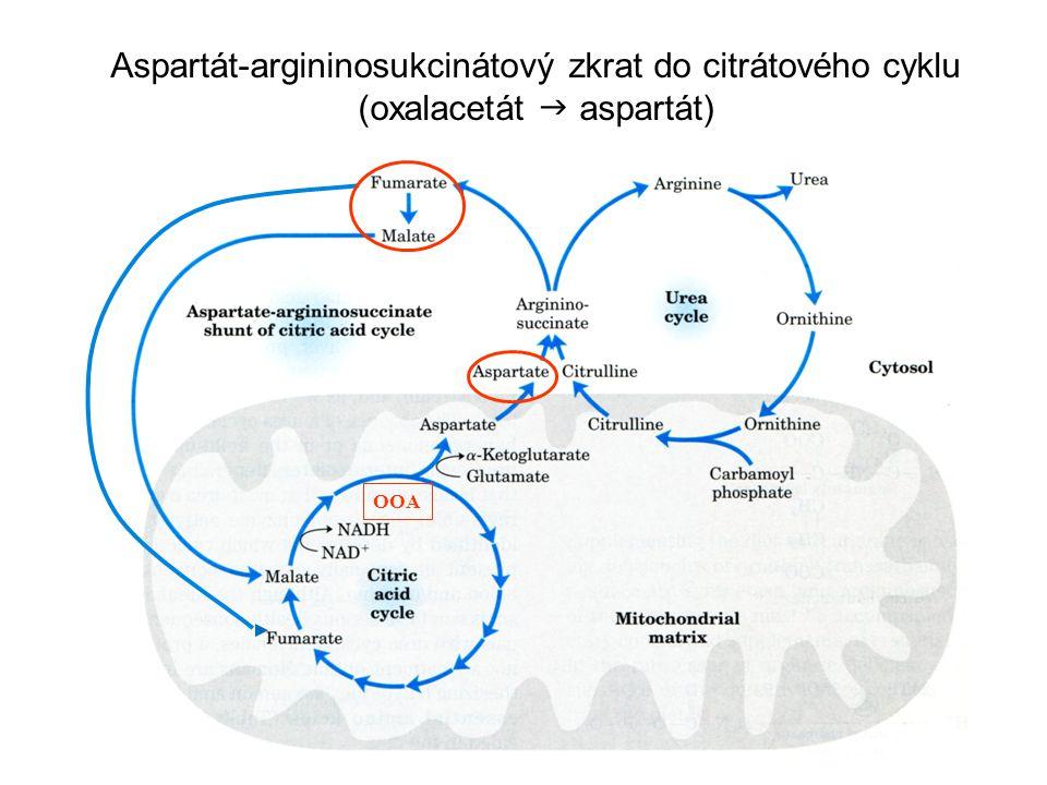 Aspartát-argininosukcinátový zkrat do citrátového cyklu