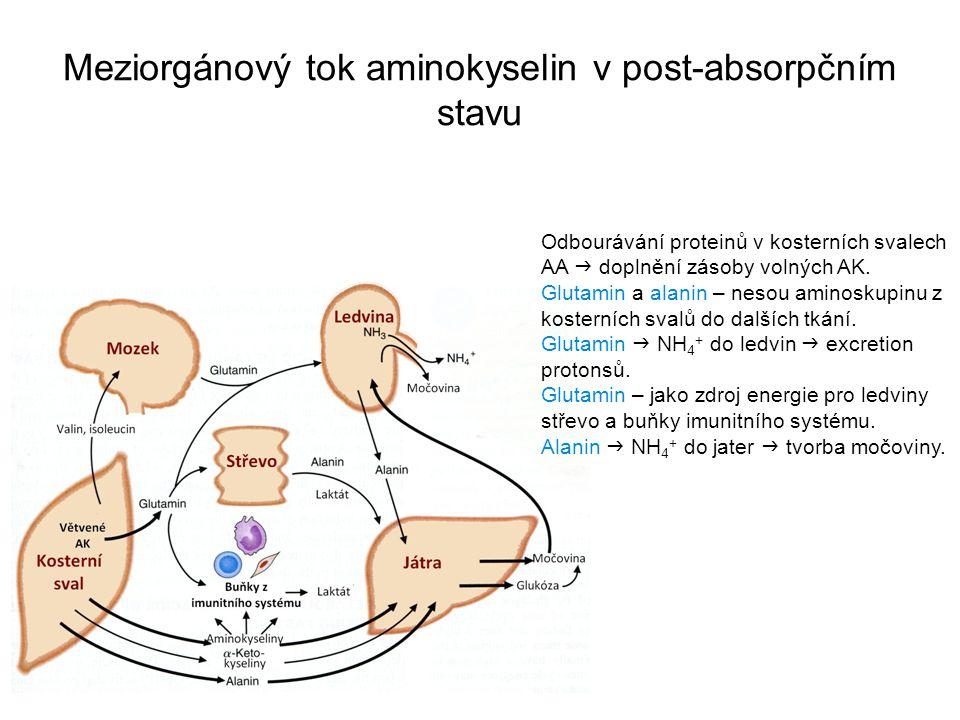 Meziorgánový tok aminokyselin v post-absorpčním stavu