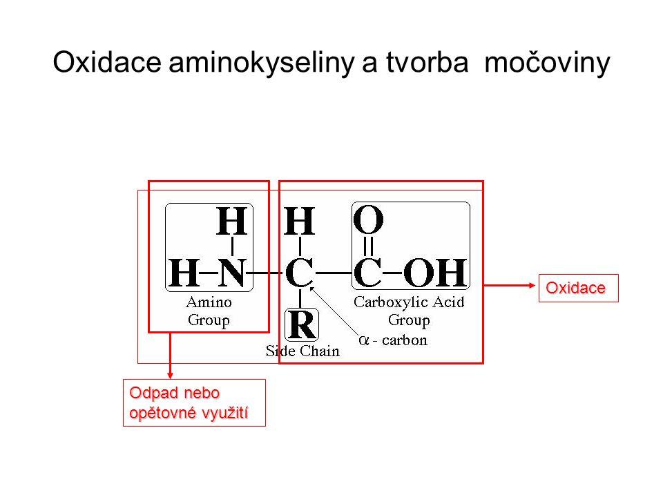 Oxidace aminokyseliny a tvorba močoviny