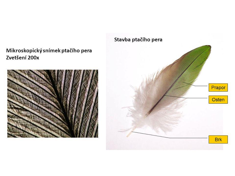 Stavba ptačího pera Mikroskopický snímek ptačího pera Zvetšení 200x