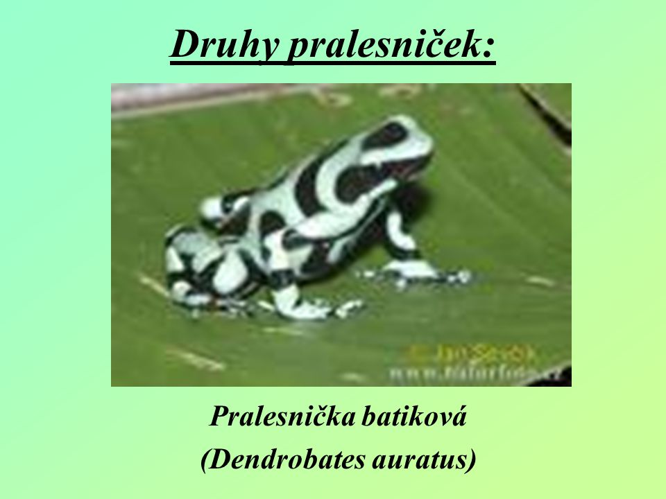 Pralesnička batiková (Dendrobates auratus)
