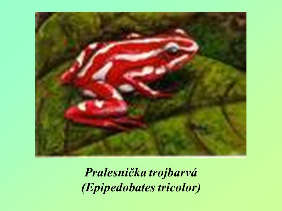 Pralesnička trojbarvá (Epipedobates tricolor)